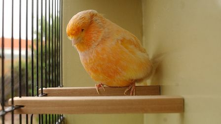 A Norwich canary Picture: ARCHANT
