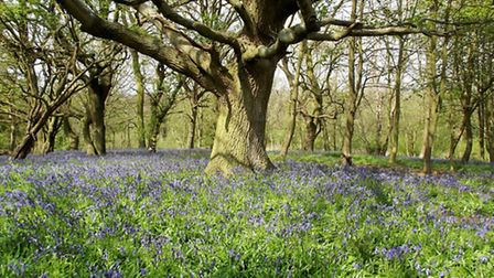 The bluebell woodland at Sotshole Broad, near Fairhaven Woodland and Water Garden in South Walsham,