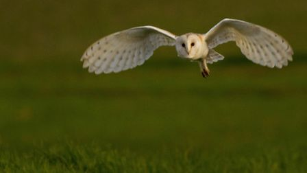 A barn owl, hunting silently over farmland at sunset, taken in Loddon. Pic by Harry Read.