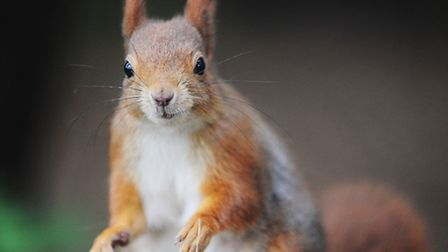 A red squirrel (pictured) called Tortoiseshell has just had her 48th kitten. Picture: Ian Burt