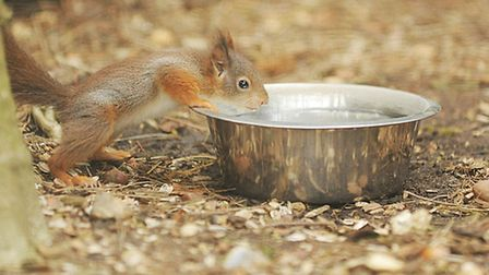 A red squirrel called Tortoiseshell has just had her 48th kitten. Pictured is one of the babies. Pic