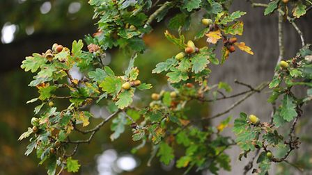 Autumnal colours at Fairhaven Woodland and Water Gardens near South Walsham.Acorns on a oak tree.Oct