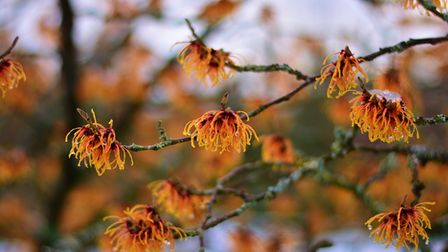 A picture of witch hazel growing in the wild