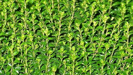 A harvest of thyme