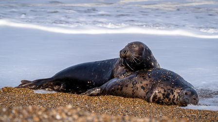 Photographers at Blakeney National Nature Reserve have snapped rare photos of mating seals.