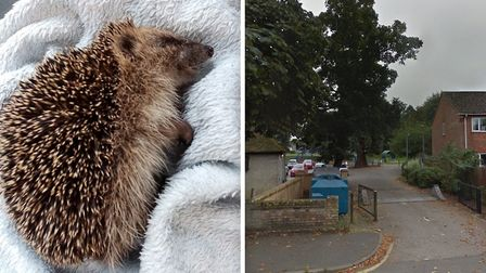Two-month-old hedgehog Clay was kicked to death by children at Soham Recreation Ground. Picture: Cambridgeshire Wildlife...