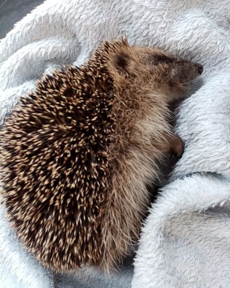 Two-month-old hedgehog Clay. Picture: Cambridgeshire Wildlife Care