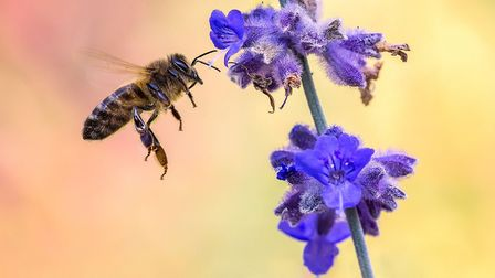 Ely Photographic Club held its first photographic competition via Zoom. Highly Commended: Busy Bee by Ryan Bailey.
