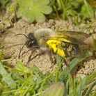Andrena vaga, extinct in UK since 1946. First seen again this year at two sites. Female carrying po