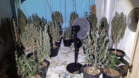 Fifty cannabis plants were seized from an address in Wisbech Road, Littleport, yesterday (Tuesday November 17). Picture...