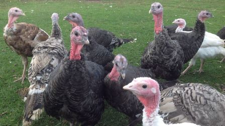 Turkeys in Wethersfield. Picture: BYFORD & WRIGHT