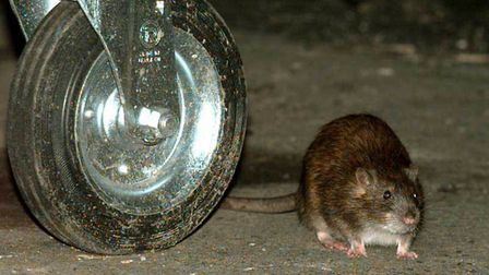 Does Cambridgeshire have an ongoing problem with rats? Picture: Peter Jordan/PA Archive/PA Images
