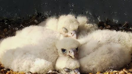 The three peregrine chicks in their nesting box atop Cromer Church earlier this year.