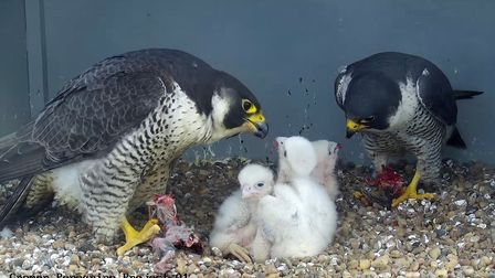 The peregrine pair with their chicks earlier this year on top of Cromer Church.