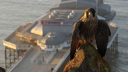 One of the peregrines atop Cromer Church, with the town's famous pier in the background.