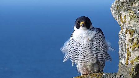 One of the peregrines atop Cromer Church.