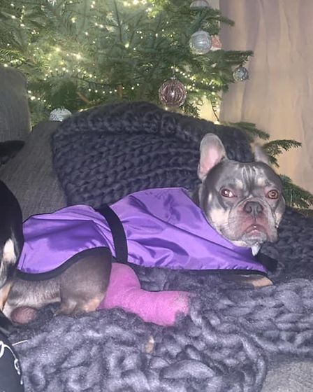Louis from Smart Rescue Norfolk who arrived with a broken leg, is chilling in front of the Christmas tree healing well