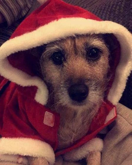 Tia the 9-year-old jack russell getting into the festive spirit