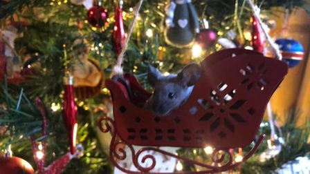 Holly the mouse getting festive in her sleigh n the Christmas Tree