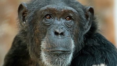 Colchester Zoo has said a sad goodbye to its 24-year-old chimpanzee Tekita, who died after becoming unwell. Picture: DAVID...