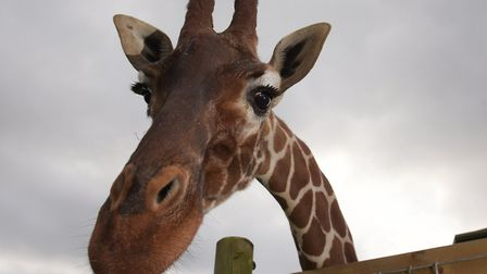 One of the giraffes at Africa Alive! pokes her head over the fence to say hello - the new apprentice animal keeper would...
