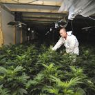 A forensic officer surveys the cannabis plants discovered inside the factory. Picture: HELEN DRAKE