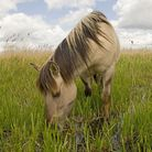 The konik ponies at Minsmere help to keep the vegetation short, creating the perfect habitat for nes