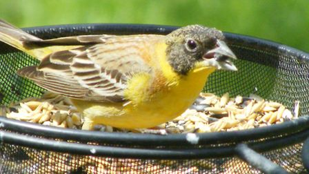 Rare Black-headed Bunting spotted in Cromer. Picture: Sue Bignell