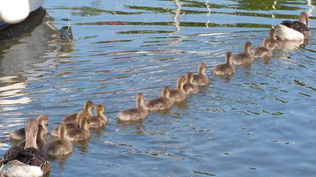 Parent-geese-with-16-goslings-