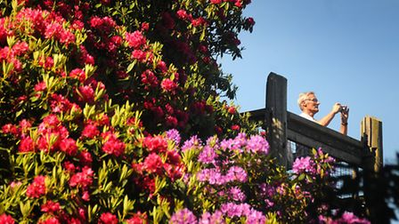 Rhododendrons at Sheringham Park.PHOTO: ANTONY KELLY