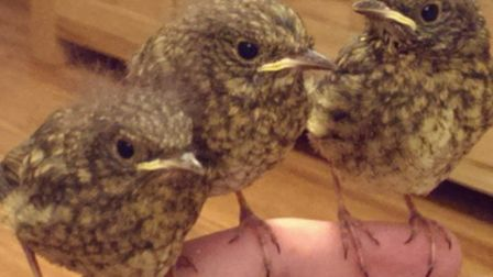 Three nestling robins now in the care of the Seal and Bird Rescue Trust's Dan Goldsmith after a van
