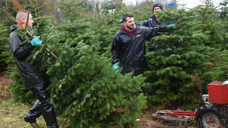 men moving real Christmas trees