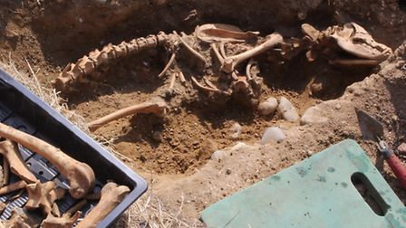 This rather large dog skeleton was uncovered in the south of the Leiston Abbey dig site.
