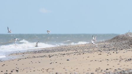Little Tern colony nesting at Kessingland Beach.First Little Tern chicks have hatched.Picture: James