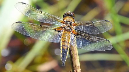 A four-spotted chaser dragonfly at Upton fen.Photo by Simon Finlay.