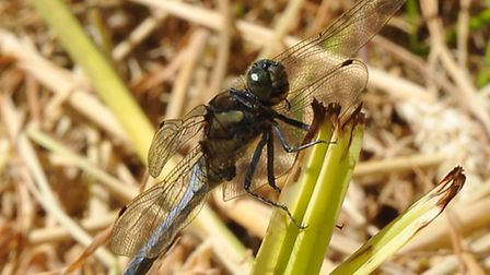 A black-tailed skimmer dragonfly at Upton fen.Photo by Simon Finlay.