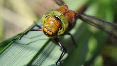 A Norfolk hawker dragonfly at Upton fen.Photo by Simon Finlay.