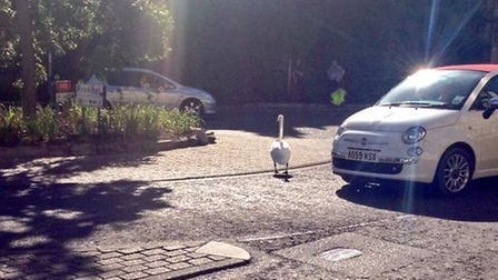 Morning rush hour traffic brought to a standstill in Norwich's Tombland by a swan. Picture: Tom Vinc