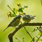 Picture of the daySpringwatchs star blue tits fledging no photo credit.