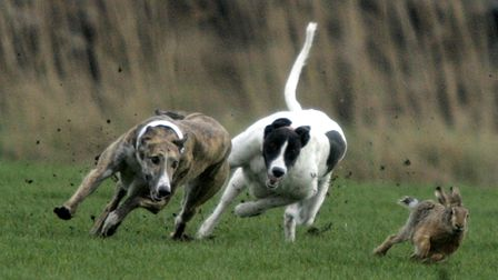 A hare is pursued by two greyhounds on the final day. Picture: PA Archive/PA Images