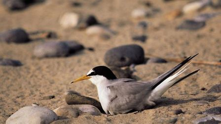 A little tern sat on a nest in Winterton. Picture by Chris Gomersall.