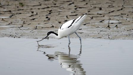 A dainty avocet probes the mud. Picture: Matthew Usher