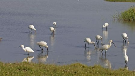Spoonbills seen previously at Cley Marshes.Picture by Roger Tidman.