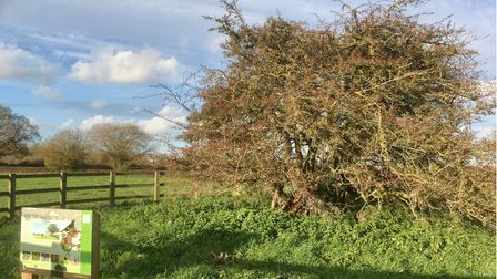 Hethel Old Thorn nature reserve is a single thorn tree