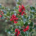 Red berries on the dark green leaves of an ivy plant
