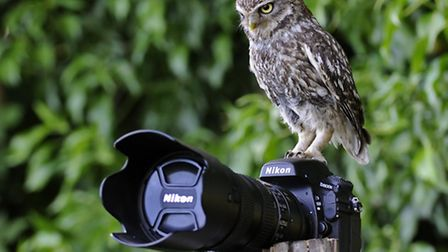 A little owl takes a close look at a camera...