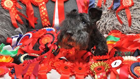 Parker, the pet of Stephanie Israel, who has won over 100 rosettes at shows.Photo by Simon Finlay.