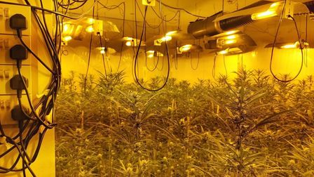 Cannabis plants discovered in Walton-on-the-Naze, Essex