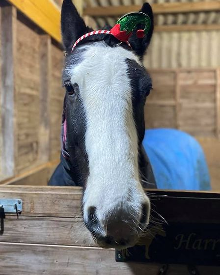 Henry the cob horse is ready to help Santa make presents