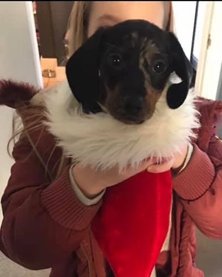 Nine week old Ralph is so small he fits in a Christmas hat